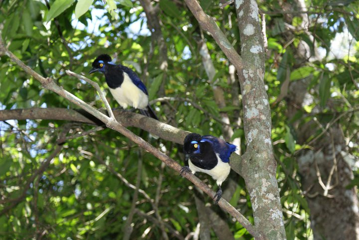 Plush-crested jays