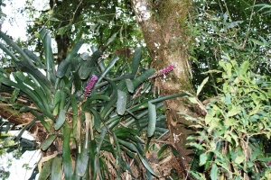 Bromeliads on Pico Caratuva, photo by Ben Tavener