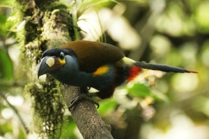 Plate-billed mountain toucan, photo by Ben Tavener.