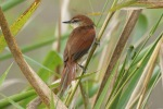 Yellow-chinned spinetail, photo by Ben Tavener
