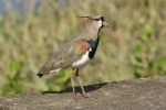 Southern lapwing, photo by Ben Tavener