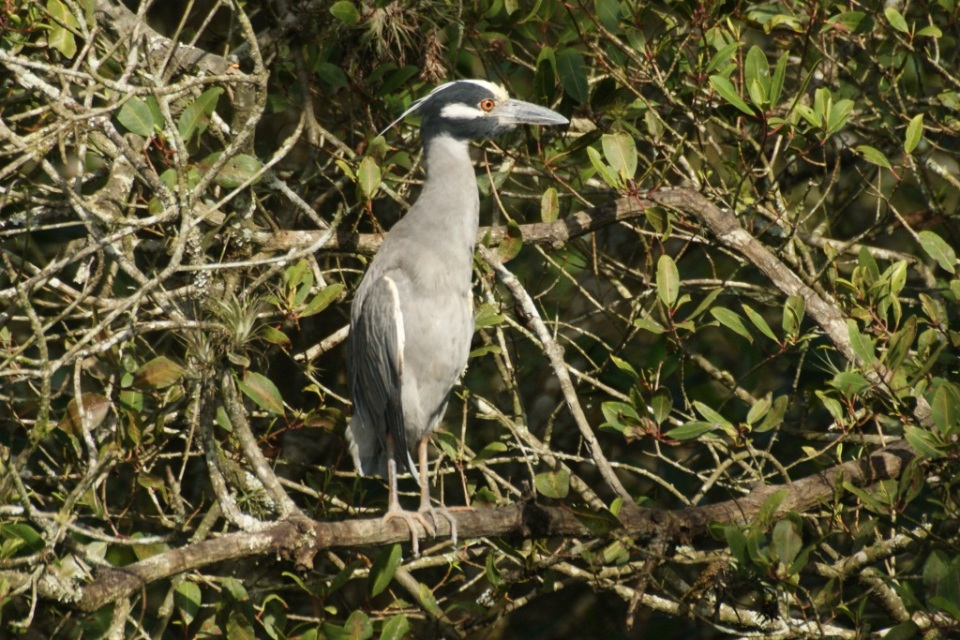 Yellow-crowned night-heron, photo by Ben Tavener