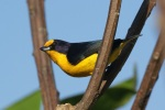 Violaceous euphonia, photo by Ben Tavener