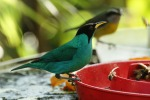Green honeycreeper, photo by Ben Tavener