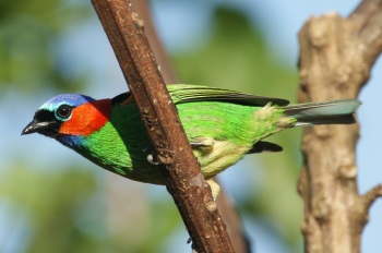 Red-necked tanager, photo by Ben Tavener