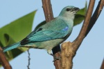 Azure-shouldered tanager, photo by Ben Tavener
