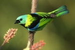 Green-headed tanager, photo by Ben Tavener
