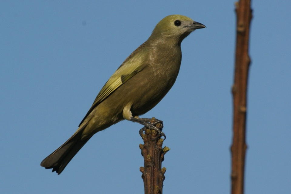 Palm tanager, photo by Ben Tavener