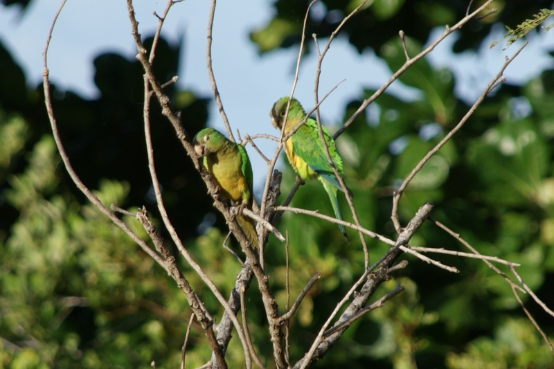 Caatinga parakeet or Cactus parakeet. Photo by Ben Tavener.