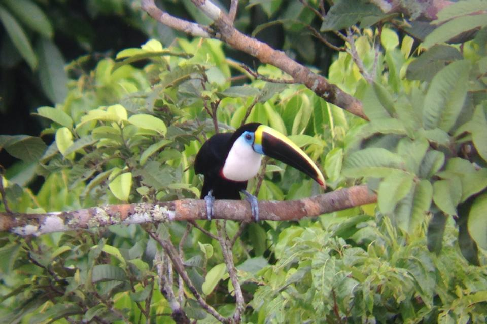 Through the scope: White-throated toucan - Cristalino Private Nature Reserve