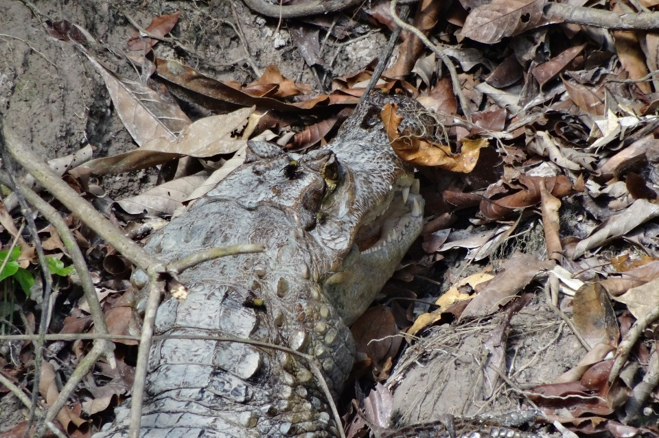 Spectacled caiman - Cristalino Private Nature Reserve