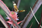 Heliconid butterfly on wild pineapple - Cristalino Private Nature Reserve