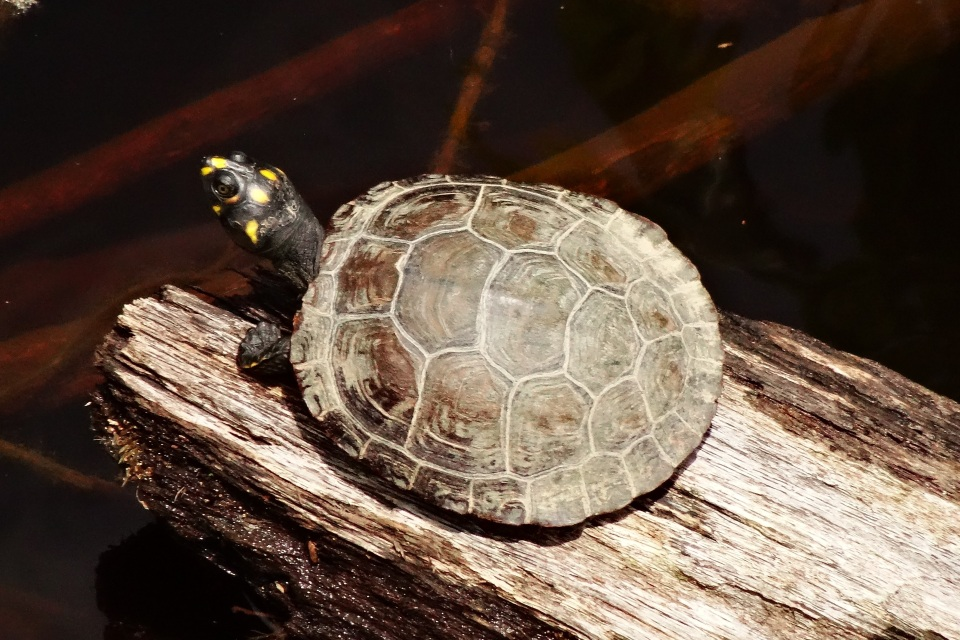 Yellow-spotted river turtle - Cristalino Private Nature Reserve