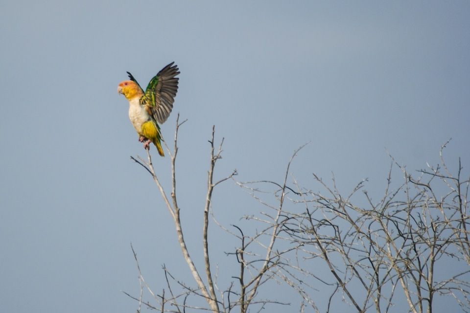 White-bellied parrot - Cristalino Private Nature Reserve
