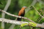 Black-bellied cuckoo - Cristalino Private Nature Reserve