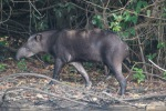 Tapir - Cristalino Private Nature Reserve