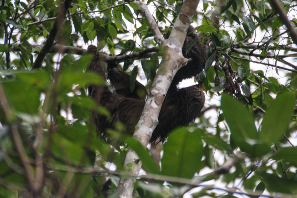 Two-toed sloth - Cristalino Private Nature Reserve