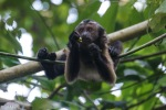 Brown capuchin monkey - Cristalino Private Nature Reserve