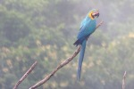 Through the scope: Blue-and-yellow macaw