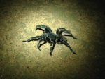 Brazilian giant whiteknee tarantula - Cristalino Private Nature Reserve