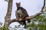 Harpy eagle with prey - Cristalino Private Nature Reserve
