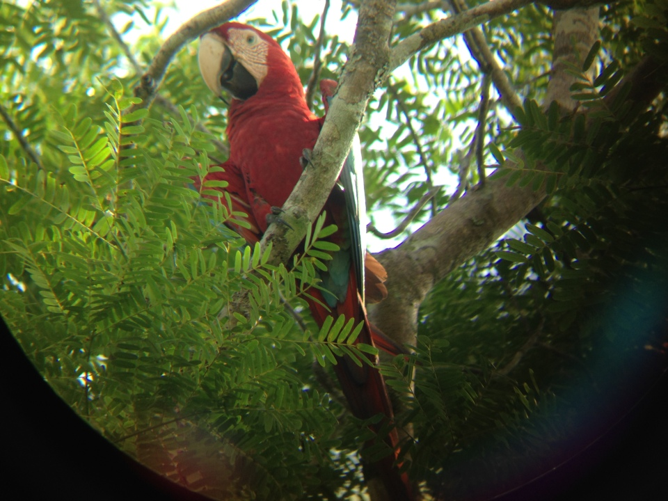 Through the scope: Red-and-green macaw