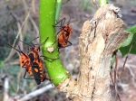 Milkweed beetles - Cristalino Private Nature Reserve
