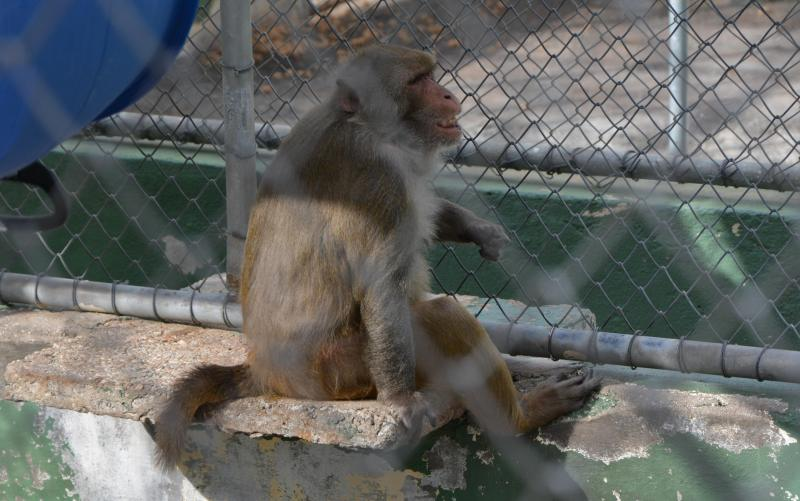 Rhesus monkeys at Butantan Institute, São Paulo, are involved in the development of USP's HIV vaccine.
